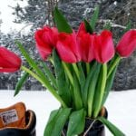 Tulpen im Winter