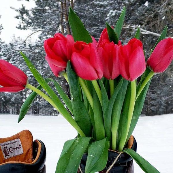 Tulpen im Winter