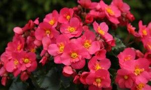 Begonie Balkonpflanze