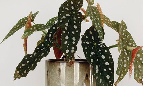 Begonie Zimmerpflanze
