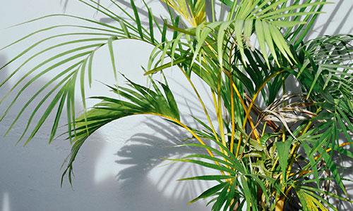 Bergpalme zimmerpflanze