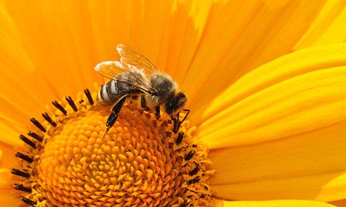 Biene gelbe Blume