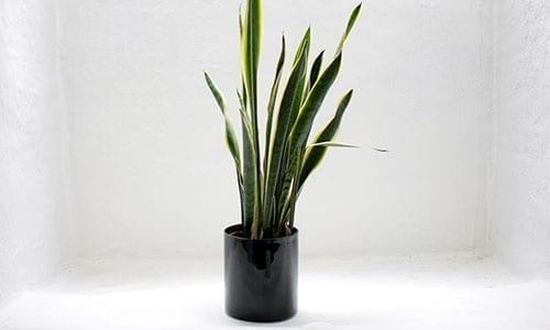 Bogenhanf pflanze