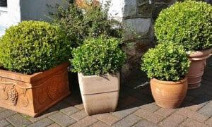 Buchsbaum balkonpflanze