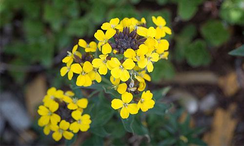 Felsensteinkraut gelb
