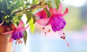 Fuchsien Pflanze