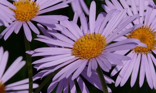 Glattblattaster pflanze