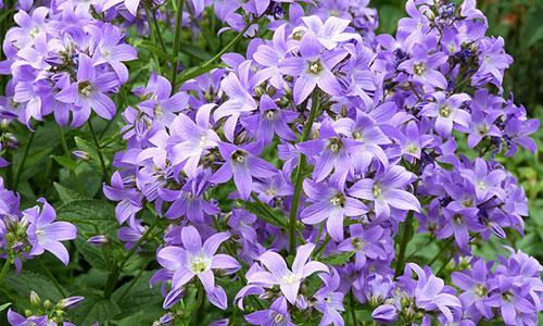 Glockenblume lila pflanze