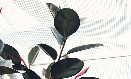Gummibaum pflanze