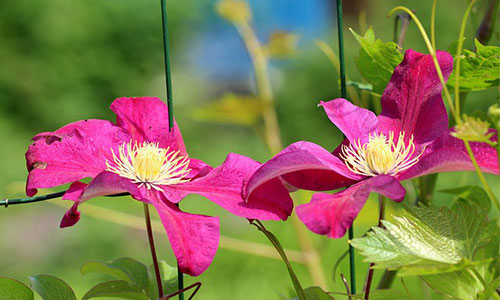 Waldrebe pink violett