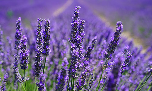 Lila Lavendelfeld
