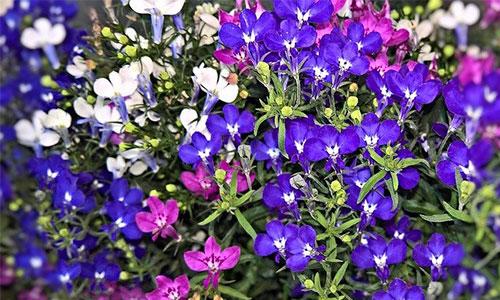 Männertreu lila blau Lobelie