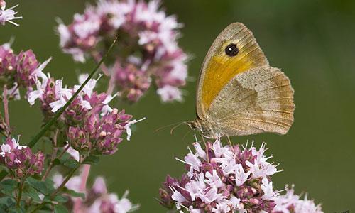 Oregano Blüte Schmetterling