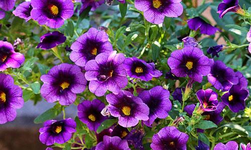 Petunien lila