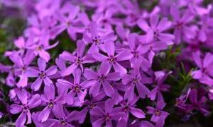 Polsterphlox lila
