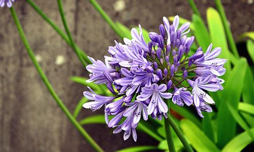 Schmucklilie violett
