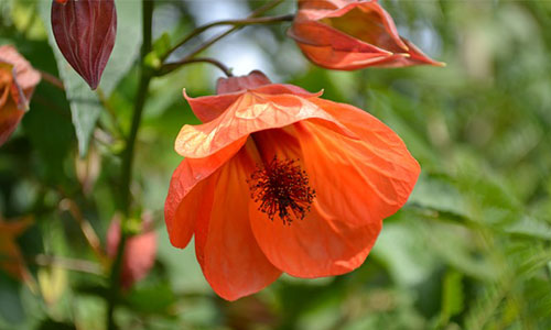 Schönmalve pflanze
