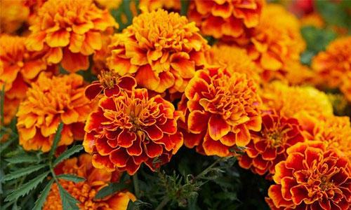Tagetes orange
