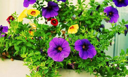Zauberglöckchen balkonpflanze