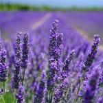 Lavendel-Feld
